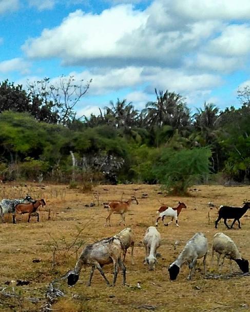 Domba dan kambing 1