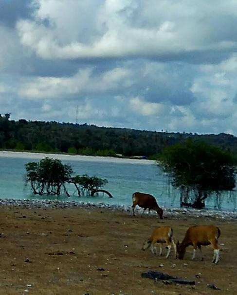 Hutan bakau di Oeseli 4