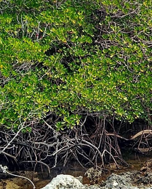 Hutan bakau di Oeseli 7