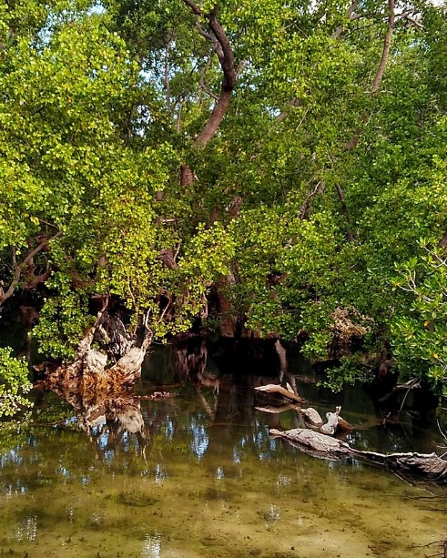 Hutan bakau di Oeseli 8