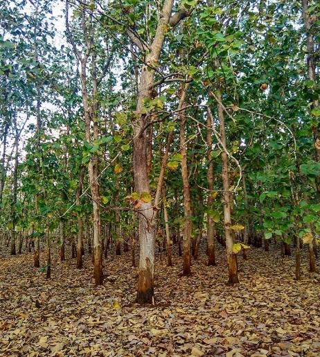 Hutan jati di Rote 1