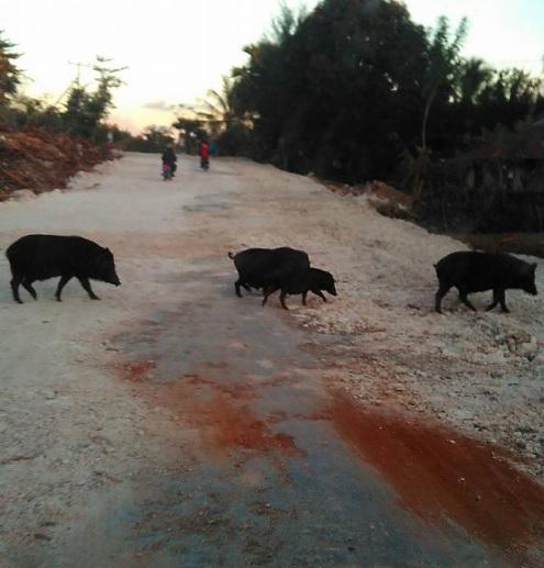 Koak babi 1