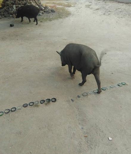 koak babi 3