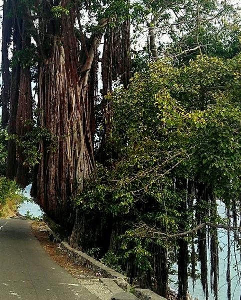 Pohon beringin di Alor