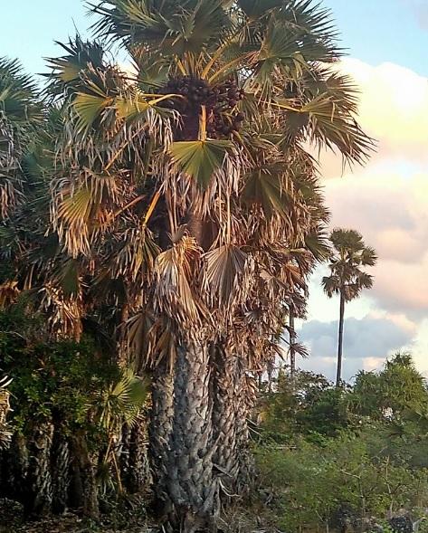 pohon Nira