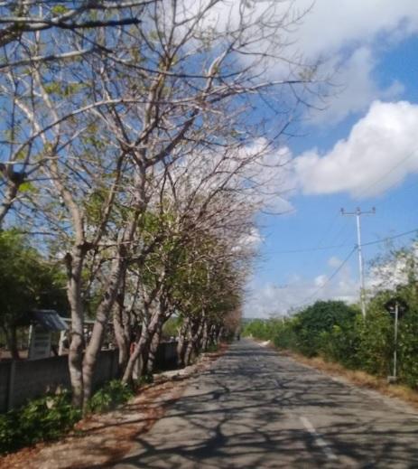 Pohon reo di sepanjang jalan ke Nembrala Kecamatan Dela