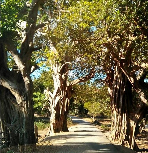 Pohon Tua di Oebela Dengka