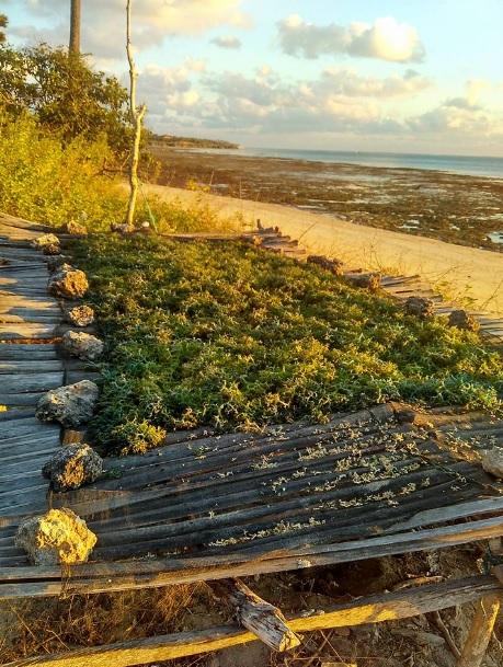 rumput laut di nembrala1
