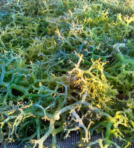 rumput laut di nembrala2