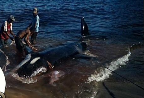 perburuan ikan paus di lamalera3