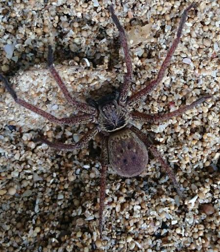 laba-laba pulau jawa