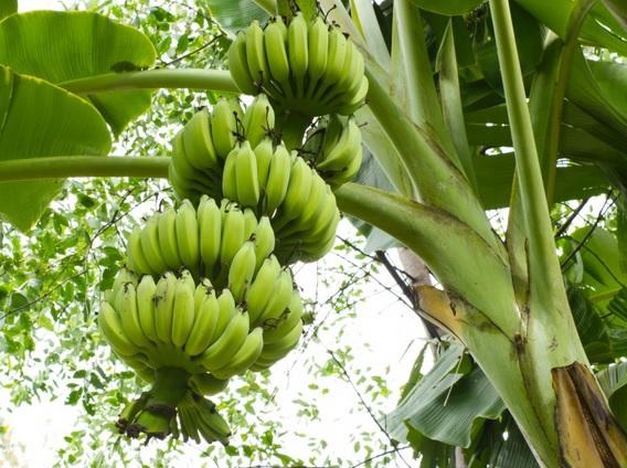 pohon pisang 2