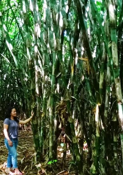 Hutan Bamboo Buungan Bangli 4